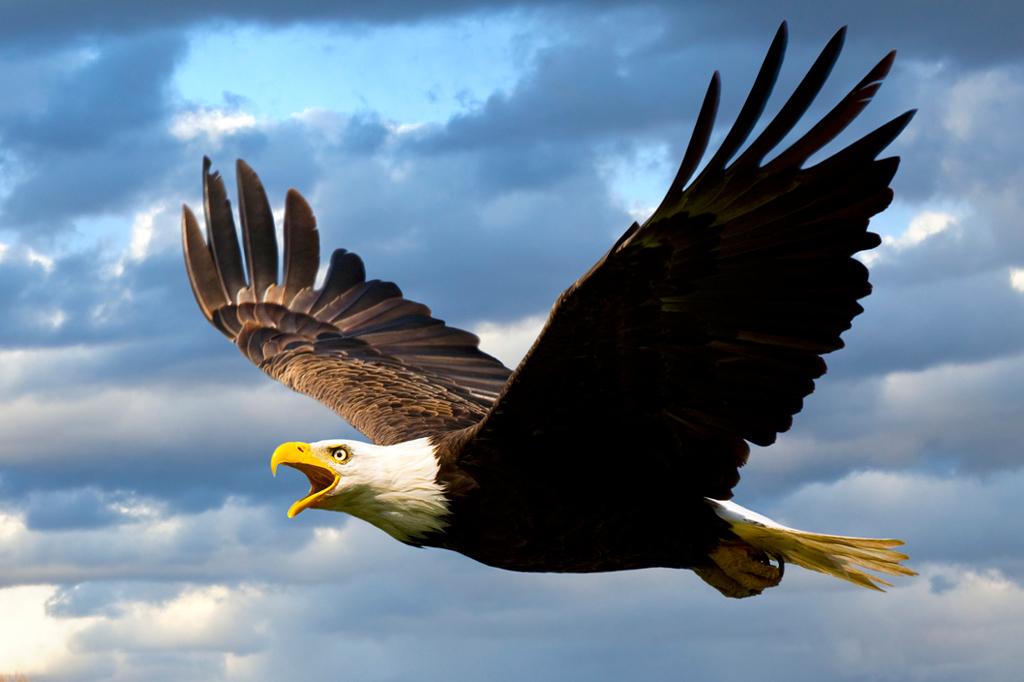 Aves de rapina: águia