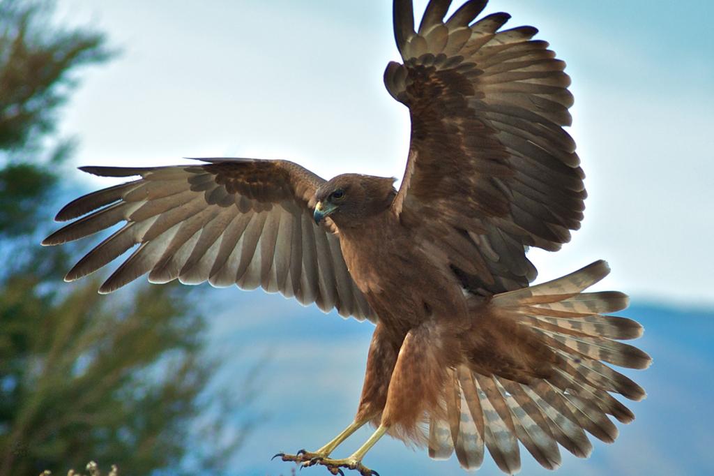 Aves de rapina: falcão