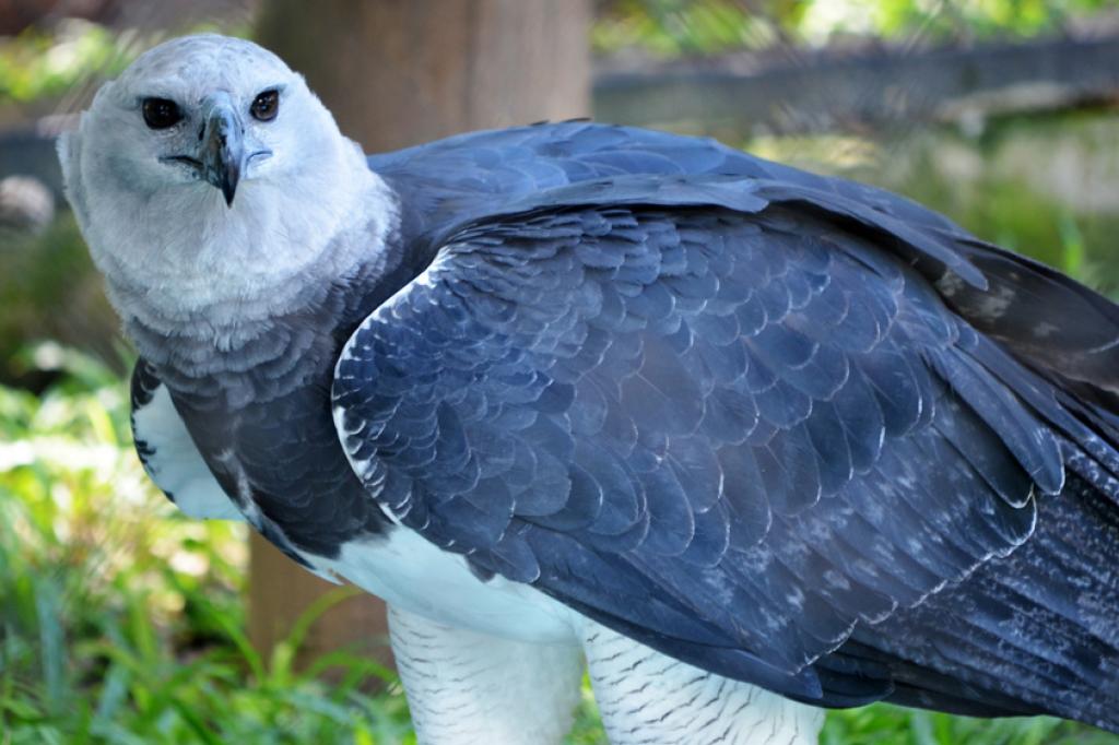 Aves de rapina: gavião real
