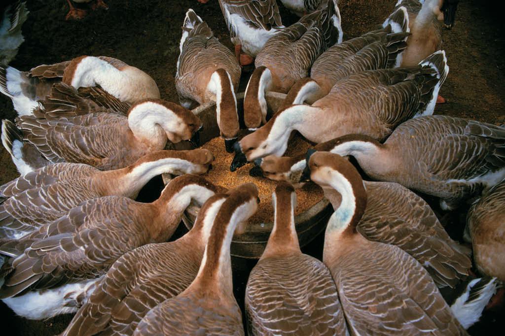 O patê foie gras é resultado da tortura dos gansos
