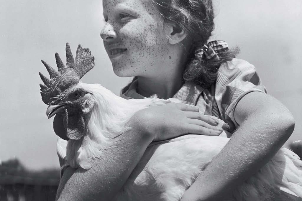 A humanidade cria quase 15 bilhões de galos e galinhas