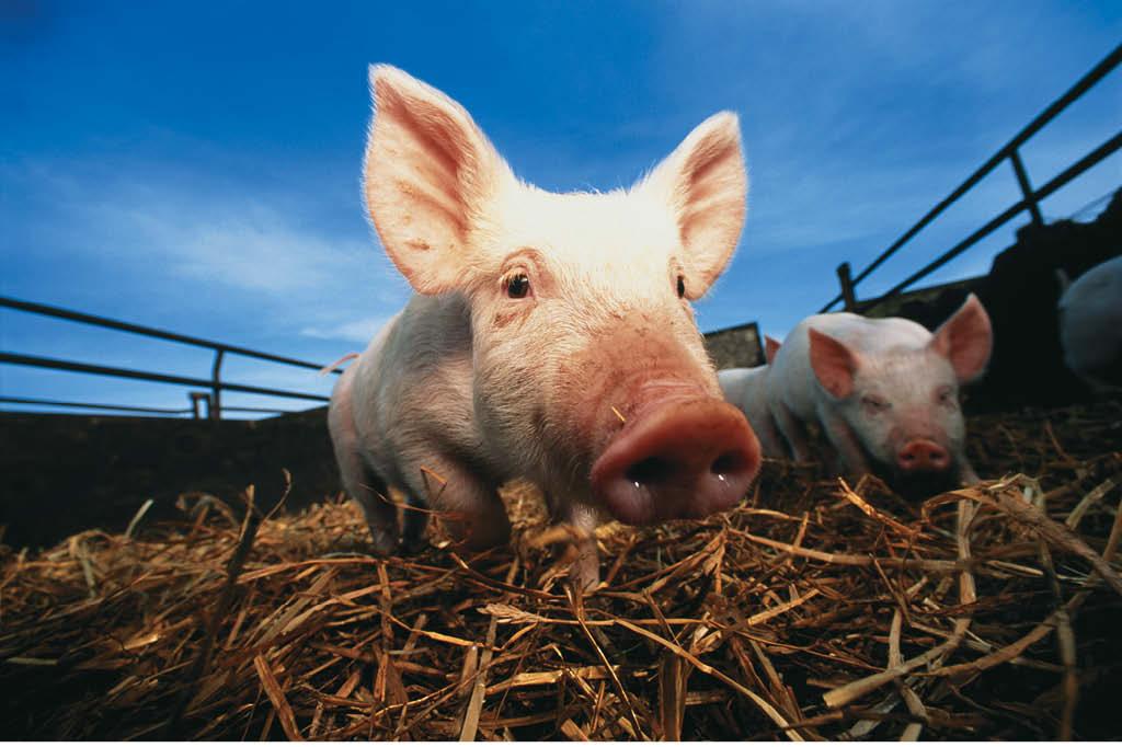 Porcos passam a vida inteira confinados