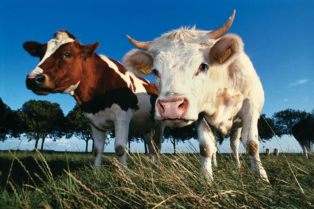 Há, no mundo, quase um bovino para cada quatro humanos. O rebanho mundial ocupa um quarto do território terrestre. Faz sentido?