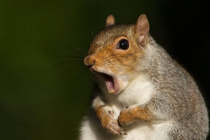 Esquilos se masturbam para evitar doenças sexualmente transmissíveis