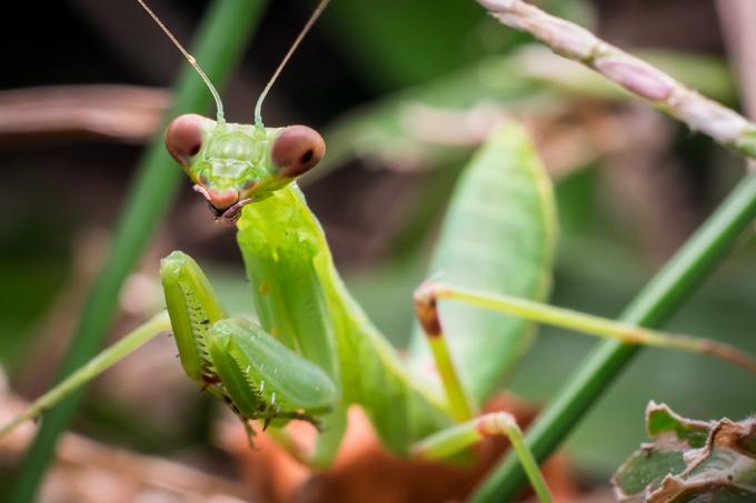 Louva-deus fêmea come o macho depois do sexo para ficar mais fértil