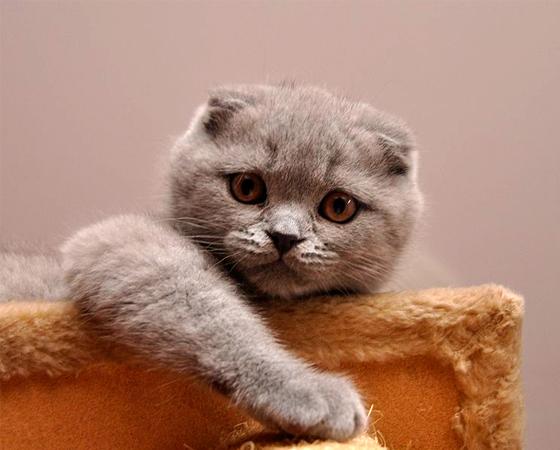 Não há nenhuma outra raça de gatos domésticos como a <i>Scottish Fold</i>. Originários da Escócia, como sugere o nome, eles são os únicos a terem orelha dobrada para frente - o que dá a esses bichanos um aspecto mais fofo.