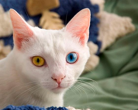 Logo de cara, o que chama a atenção nos gatos <i>Khao Manee</i> são os olhos que, em boa parte dos animais da raça, são de cores diferentes. São felinos raríssimos encontrados na Tailândia.