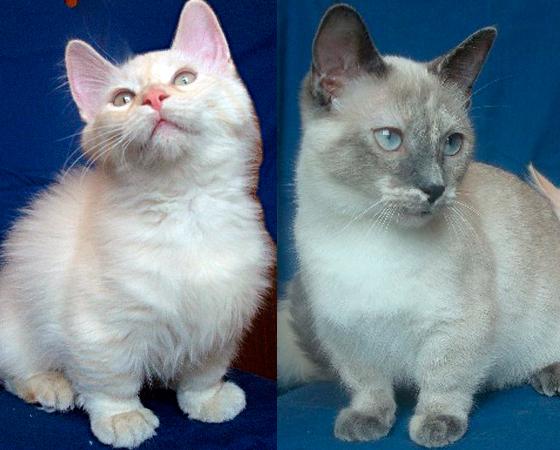 Os gatos da raça <i>Munchkin</i> são como bassets felinos. Eles possuem pernas um terço menor que os bichanos de outras raças. Por isso, um Munchkin tem muita dificuldade em pular grandes alturas. Mas, ainda assim, os bichos dessa raça são muito ativos.
