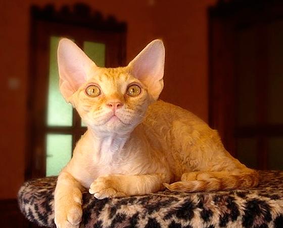 Com orelhas em pé e pelos curtos e ondulados, os gatos da raça <i>Devon Rex</i> têm, digamos assim, um aspecto bastante peculiar (eles são chamados de gatos aliens, para se ter uma ideia). Mas sua aparência logo se torna cativante, ainda mais porque esse felino inglês é um ótimo companheiro.
