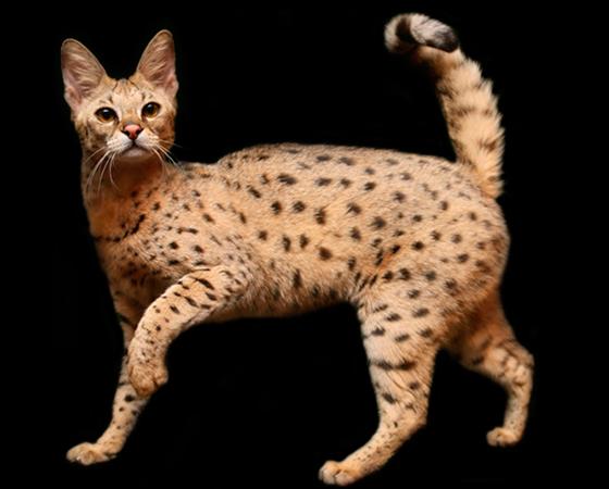 E por falar em gatos que se parecem com felinos maiores e selvagens, o <i>Savannah</i> é um ótimo exemplo. Na verdade, a raça é um cruzamento entre gato doméstico e o serval. Apesar da pele exótica herdada no animal selvagem, o comportamento dessa raça é totalmente dócil.
