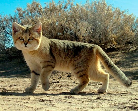 Apesar da aparência fofa, como boa parte dos gatos, o <i>Gato-do-deserto</i> é extremamente resistente e adaptado a viver no deserto, longe da água. Aliás, é a única raça capaz de viver nessas condições. Ele é encontrado no sul da África e sudoeste da Ásia.
