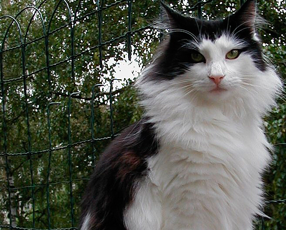 Para sobreviver ao intenso frio de seu local de origem, o gato <i>Norueguês da Floresta</i> possui abundância de pelos - o que o torna um verdadeiro cobertor vivo. Apesar de o nome remeter ao seu passado selvagem, essa raça é atualmente domesticada e dócil.