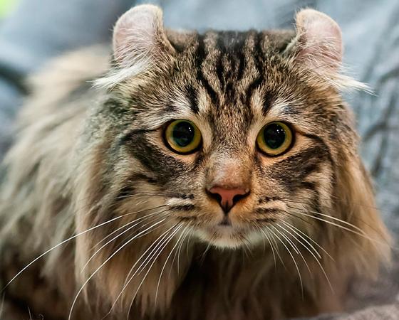Finalizando a lista, o <i>Curl Americano</i> é tão fofo quanto exótico. Com suas orelhas redondas, os gatos dessa raça parecem ter saído de um conto de fadas. Oriundo de uma mutação genética espontânea, o primeiro registro do Curl Americano é de 1981.