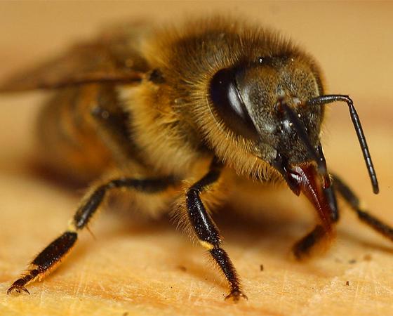 Que as abelhas polinizam as flores, todo mundo sabe. Mas que elas têm pelinhos nos olhos para conseguir coletar mais pólen das plantas, isso eu aposto que você não sabia. Outro fato curioso: as abelhas sabem que o mundo é redondo e conseguem calcular ângulos.