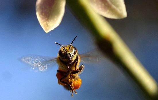 Sabe como uma abelha consegue voltar para casa? Elas são dotadas de um sistema de navegação capaz de detectar as mudanças no campo magnético da Terra.