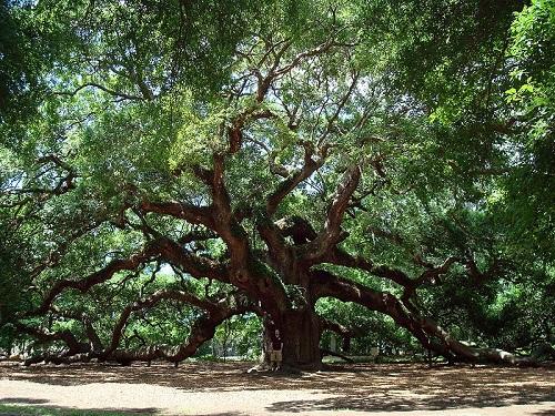 Essa espécie de carvalho é nativa dos Estados Unidos. O da foto fica na Carolina do Sul e pode ter até 1.500 anos!