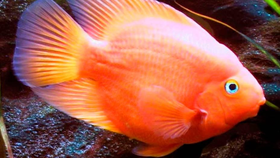10. Peixe papagaio-vermelho
