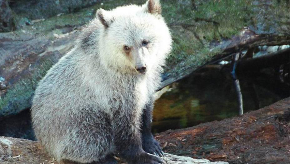 6.Urso Grolar