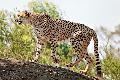 O Chita, um felino natural da África, é o animal terrestre mais rápido. Atinge até 120 km/h.
