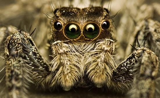 Com quatro pares de olhos, as aranhas-saltadoras usam a luz verde e uma visão de 360 graus para localizar e atacar sua presas.