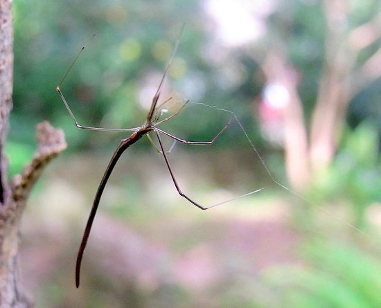 <i>Argyrodes colubrinus</i> <bR>