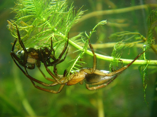 <i>Argyroneta aquatica</i>