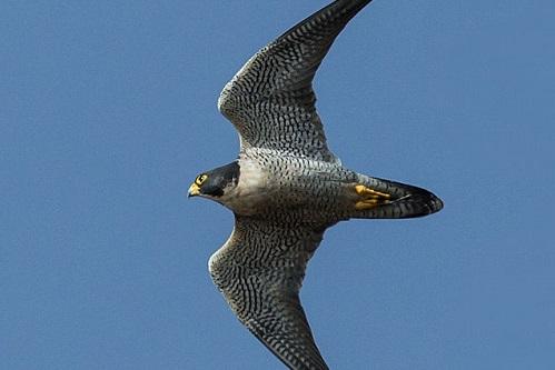 No ar, ninguém é mais rápido do que falcão-peregrino. A ave voa a até 325 km/h.
