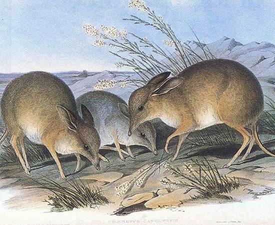 Bandicoot-pés-porco (Chaeropus ecaudatus) - extinto nos anos 1950.