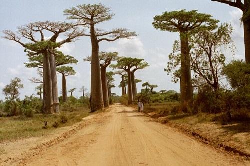 O Baobá é a árvore símbolo de vários países africanos, entre eles Madagascar e Senegal. Chega a alcançar 30 metros de altura e tem a capacidade de armazenar grandes quantidades de água dentro do tronco.