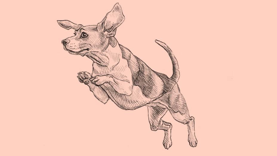 Nos anos 1950, os estudiosos John Paul Scott e John Fuller realizaram uma experiência para testar o olfato de algumas raças: colocaram um rato em um campo de 4 mil m2e cronometraram quanto tempo cada cachorro levavapara encontrar o roedor. Enquanto fox terriers demoraram 15 minutos, os beagles levaram menos de um minuto.Por essas, cheiros da rua despertam nesse campeão mundial de olfato uma vontade incontrolável dedescobrir a origem do odor. A raça, então, costuma enlouquecer os donos nos passeios.Por causa do seu temperamento dócil no laboratório,é a raça mais usada como cobaia em experimentos científicos, infelizmente. O fato é que o beagle semprese esforça para agradar. E por isso se dá bem com crianças, o que faz dele um cão de estimação altamente popular.A fama foi consolidada na cultura popular: Snoopy,o personagem que passa seus dias divagando sobre a vida no telhado de sua casinha, é um beagle. Mas, ao contrário do Snoopy, os beagles da vida real têm temperamento ativo, o que os torna extremamente difíceis de treinar. Alguns livros classificam seu nível de treinamentocomo 1, ou seja, o pior numa escala que vai até 5.Porém, como os beagles ganham nota 5 no grau de empatia com outros cachorros e pessoas, fica claro quese trata de um cão que se dá bem com todos, mas que exige independência. Para criar um beagle, o dono precisa desenvolver comandos firmes. A raça surgiu na Inglaterra como companheira de caçadores e, desde o século 14, era usada na caça de lebres. Ele farejava o trajeto das lebres vagarosamente, fazendo com que as caçadas pudessem ser acompanhadas por mulheres e idosos. Em casa, está sempre cheio de energia, o que lhe rendeu fama também como cão de guarda.