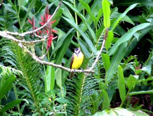 O bem-te-vi pode ser encontrado em florestas, áreas próximas da água e, claro, em jardins. A ave tem até 25 centímetros e se alimenta de artrópodes, frutos e pequenos vertebrados.