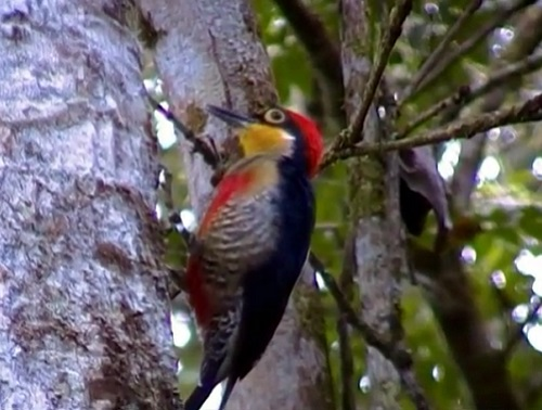 Outro habitante das florestas, matas e plantações é o benedito-de-testa-amarela. Essa ave mede entre 17 e 20 centímetros.