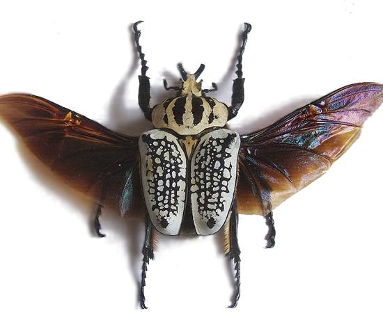 BESOURO GOLIATHUS GIGANTEUS - É o inseto mais pesado do mundo. Pode pesar até 100 g.