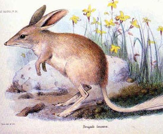Bilby-pequeno (Macrotis leucura) - extinto nos anos 1950.