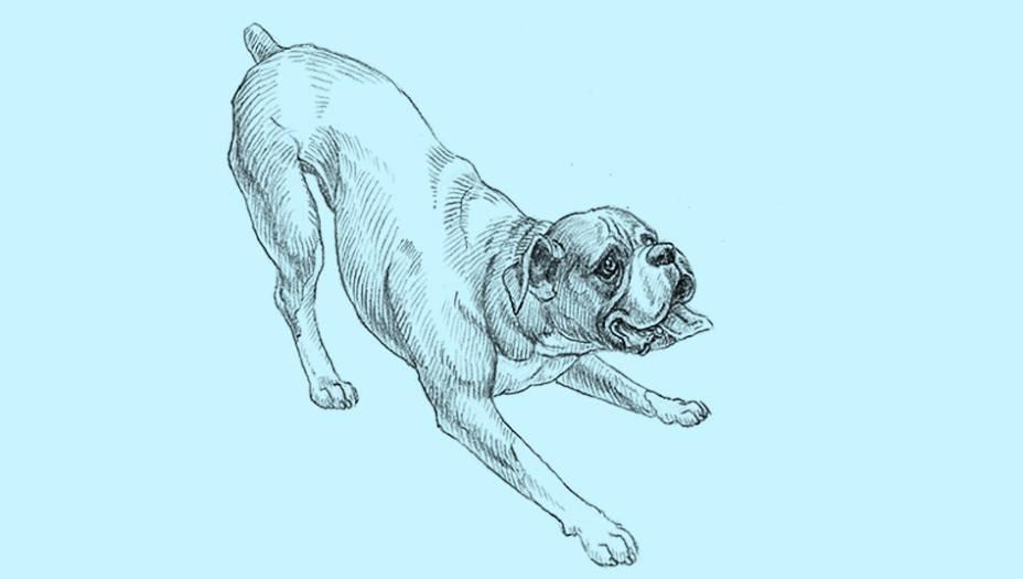 É conhecido como o cão que nunca envelhece. Está sempre disposto e cheio de energia para passear até ficar velhinho. O espírito crianção esconde outra faceta da raça: o boxer vive menos do que a média dos cães. Tem mais câncer e doenças cardíacas que outros caninos, e a face achatada lhe traz dificuldades respiratórias. Também não aguenta temperaturas extremas. Uma curiosidade: exibe a maior língua do mundo cão, que pode ultrapassar os 40 cm - ele consegue enrolar um chihuaua se quiser. A raça foi desenvolvida na Alemanha do século 19 a partir de um cruzamento do buldogue com mastiffs.