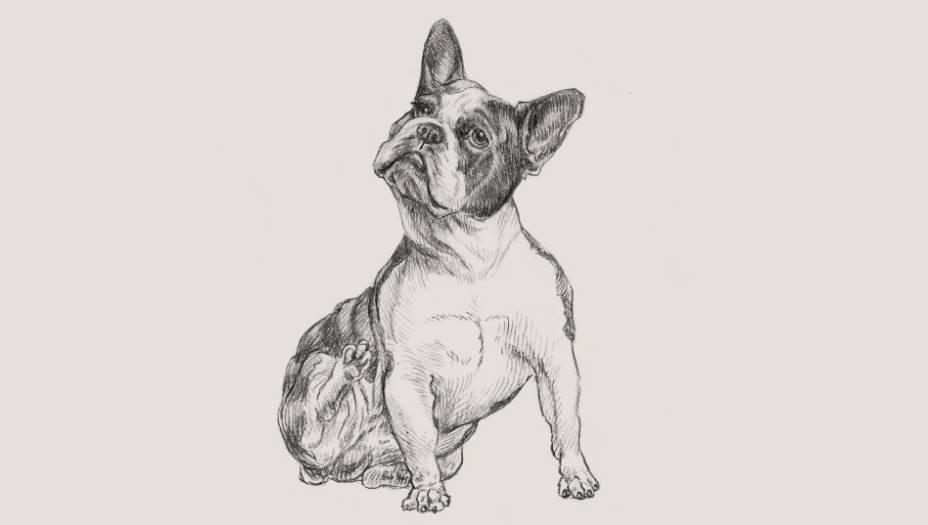 Não o julgue pela face carrancuda. O bulldog francês é um dos cães mais divertidos e ativos que existem. Mas, a cada corrida, revela o ronco e a respiração ofegante, resultado do focinho curto herdado de seu primo, o bulldog original, da Inglaterra. Por serem pesados e terem patas curtas, são incapazes de nadar – não tente levar o seu mascote para tomar um despretensioso banho de mar. Na metade do século 19, os menores exemplares da raça foram levados da Inglaterra, onde nasceram, à França e logo viraram a sensação entre as socialites - daí ganharam o nome de buldogues franceses.