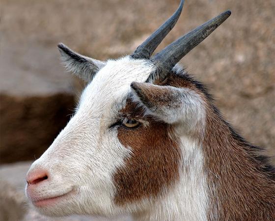 As cabras têm pupilas retangulares e um campo de visão de até 340 graus. Assim, elas conseguem observar por cima de uma grande área plana em busca de predadores.