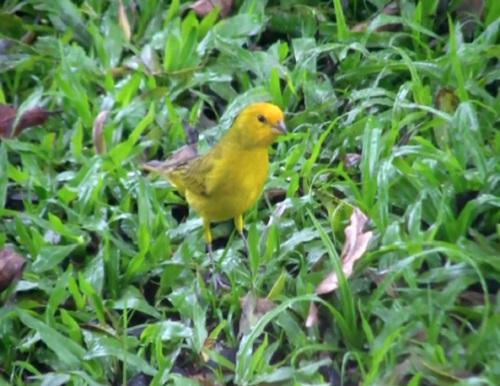 O canário-da-terra come sementes e pequenos artrópodes. O pássaro vive em campos e caatingas.
