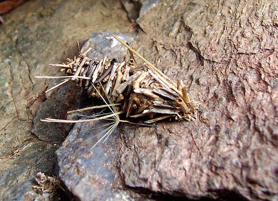 Esse casulo octogonal  é construído pela mariposa <i>Amicta quadrangularis</i>.