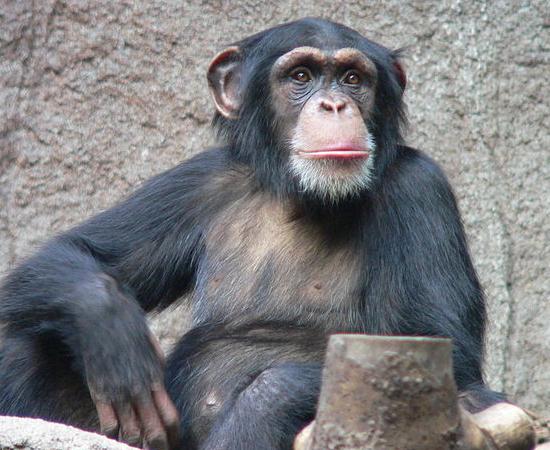 3º LUGAR - CHIMPANZÉ. Vive em sociedades competitivas, onde fêmeas copulam com diversos machos. Nesse caso, um pênis maior pode dar vantagem na guerra de esperma - quando o pênis mais longo pode depositar esperma mais próximo do útero da fêmea. Mesmo assim, é pequeno comparado ao ser humano, dono do maior pênis dos primatas: 8 cm, contra 14 cm nossos.