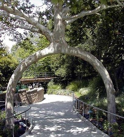 Tudo bem que a natureza é criativa na forma das árvores, mas essa Circus Tree aí passou dos limites, não é? É porque se trata de uma das árvores do fazendeiro Axel Erlandson, que tem como hobby dar as mais variadas formas para as árvores da propriedade dele.