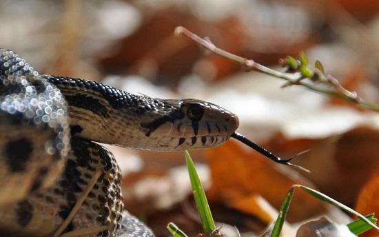 Um radar até a presa. Essa é uma das utilidades da língua das cobras, que captam moléculas no ar e ajudam a determinar a localização exata do animal.