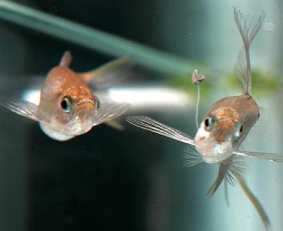 Corynopoma riisei - Os machos dessa espécie de peixe desenvolvem uma haste corporal que funciona como isca para as fêmeas. Quando uma peixinha abocanha a comida, fica na posição perfeita para o acasalamento.