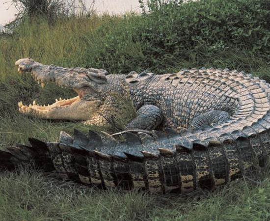 CROCODILO DE ÁGUA SALGADA (Crocodylus porosus) - É o maior réptil do mundo. Pode chegar a 7 metros de comprimento e 1 tonelada.