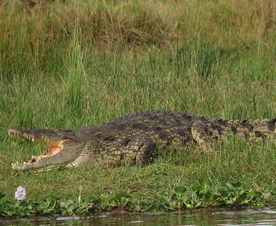 2º LUGAR - CROCODILO DO NILO. Entre os répteis, a presença do pênis não é unânime. O crocodilo tem um humilde, apenas 5% do tamanho do corpo. Lagartos e cobras têm hemipênis, duas estruturas dobradas para dentro, que ficam no fim da cauda e saem para a cópula (só um é usado por vez). Eles são mais exóticos do que grandes: alguns têm papilas, outros ornamentos, outros espinhos.