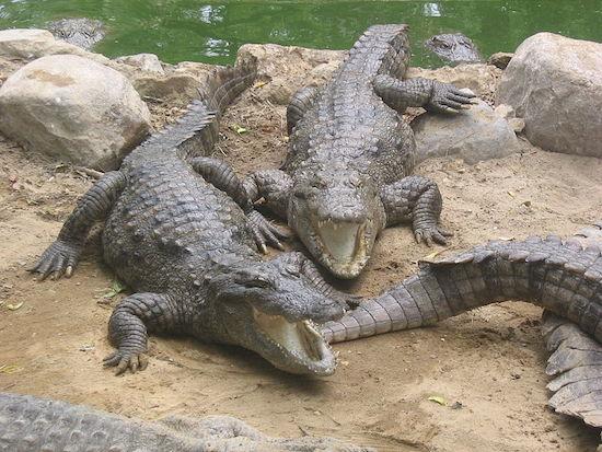 Se algum dia você se deparar com um crocodilo, comece a rezar. Eles são rápidos, ágeis e extremamente fortes. Suas mandíbulas são capazes de aplicar uma força de 2 milhões de quilogramas por metro quadrado. Cerca de 800 pessoas por ano morrem vítimas de um ataque de crocodilos.