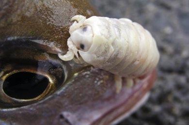 <i>Cymotoa exigua</i> - Esse artrópode bizarro é um parasita de peixes. Ele entra nos hospedeiros pelas barbatanas. Uma vez dentro, viaja até a língua do peixe e se prende ali, interrompendo a circulação de sangue no local e causando a morte do órgão. Depois disso, o <i>Cymotoa exigua</i> aproveita o banquete!