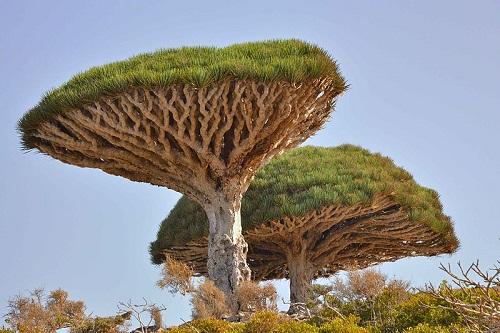 A  Dracaena cinnabari é uma espécie nativa de Socotra, um arquipélago do Iêmen que fica no Oceano Índico.
