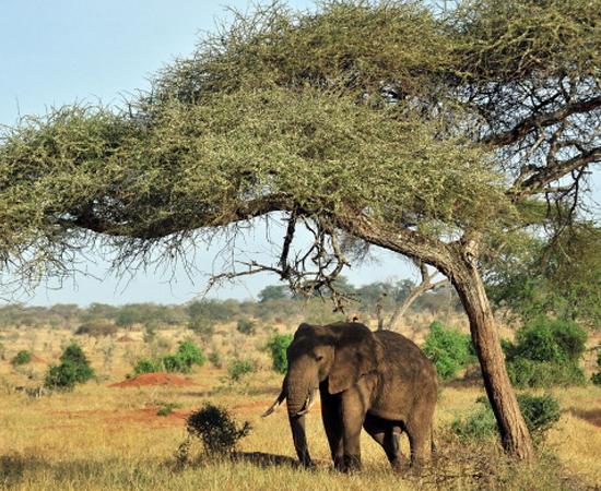 ELEFANTE AFRICANO (Loxodonta spp.) - É o maior mamífero terrestre do mundo. Chega a pesar 7 toneladas.