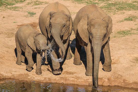Elefantes têm a fama de serem simpáticos, mas não queira estar na frente de um quando alguma coisa despertar sua ira. Cerca de 500 pessoas morrem pisoteadas por eles, a maioria na Ásia. Em algumas ocasiões, manadas invadem aldeias e destroem tudo pela frente.